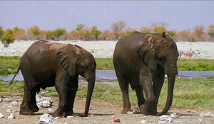 Trump administration backing down on the decision to lift ban on elephant trophies