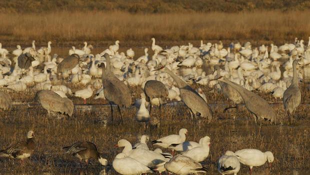 sandhill-cranes-bosque-del-apache-national-wildlife-refuge-judy-lehmberg-a-620.jpg