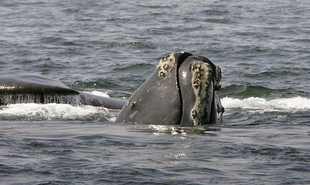 Right Whale Deaths