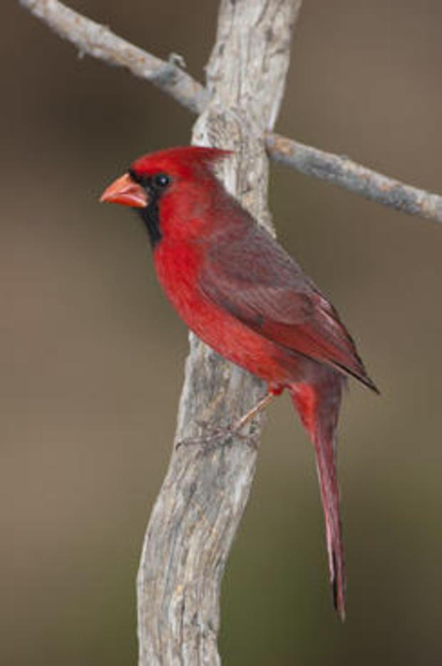 northern-cardinal-verne-lehmberg.jpg