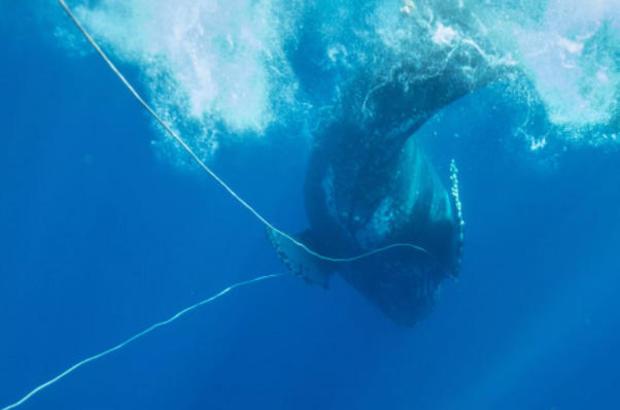 humpback-whale-hawaii-rope-in-mouth-011218.jpg