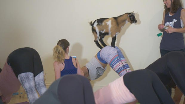 goat-yoga-perched-on-bottom-620.jpg