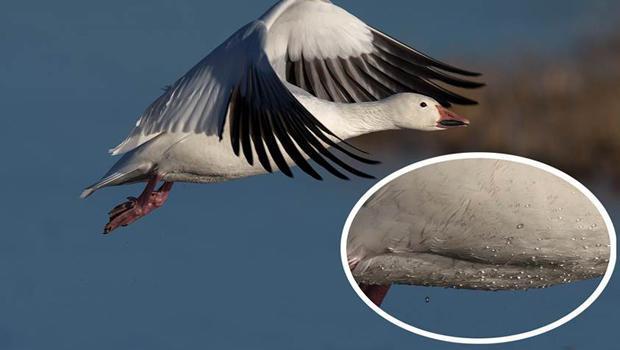 snow-goose-waterproof-feathers-verne-lehmberg-620.jpg