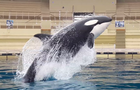 wikie-killer-whale.png