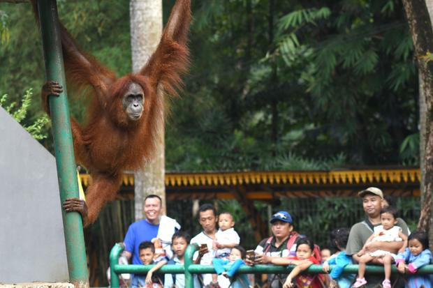 INDONESIA-ENVIRONMENT-CONSERVATION-ANIMAL-ORANGUTAN
