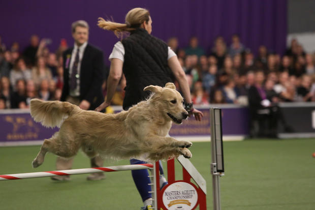 A dog competes in the Masters Agility Championship during the Westminster Kennel Club Dog Show