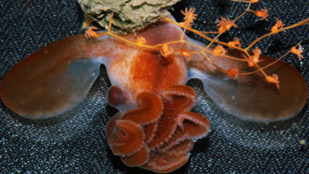 Local researchers share first-ever video of newborn dumbo octopus