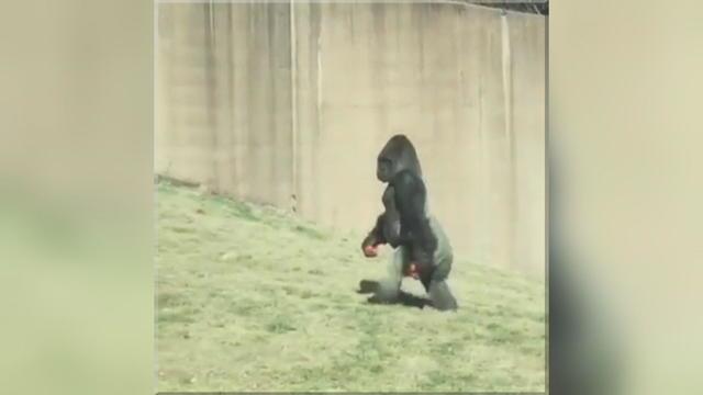 dahler-upright-gorilla-frame-947.jpg