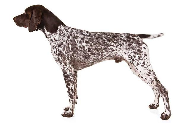 german-shorthaired-pointer-on-white-07.jpg