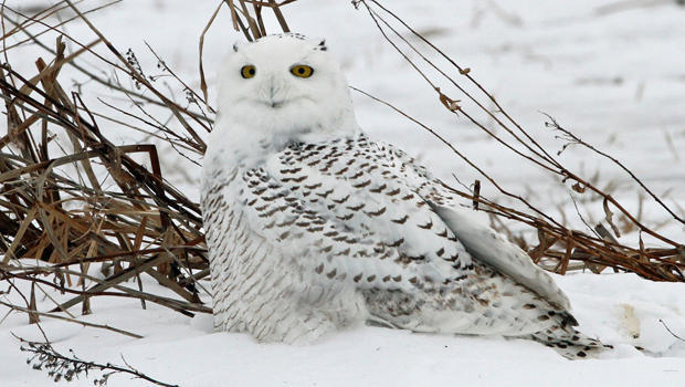 snow-owl-first-year-female-sherri-obrien-a-620.jpg