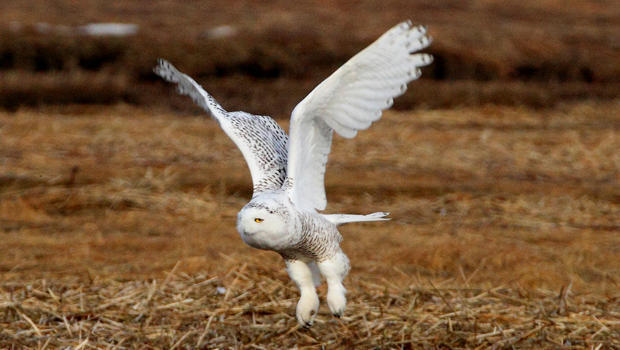 snow-owl-first-year-female-sherri-obrien-b-620.jpg