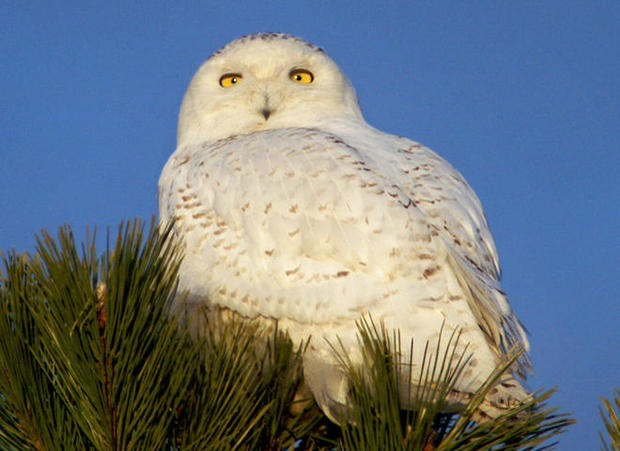 snowy-owl-first-year-male-2-sherri-obrien-promo.jpg