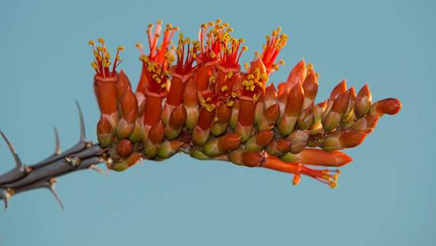 hummingbirds-long-and-tubular-ocotillo-flowers-verne-lehmberg-620.jpg