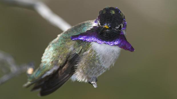 male-costas-hummingbird-verne-lehmberg-620.jpg