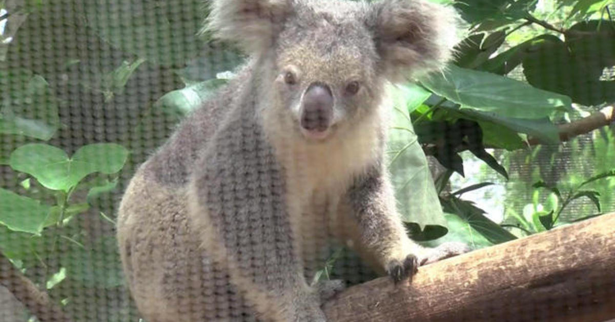 8-year-old with brain tumor meets koalas, fulfills her wish