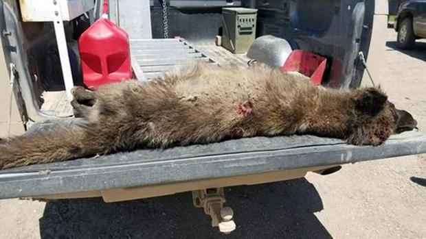 Mysterious wolf-like creature shot and killed in Montana