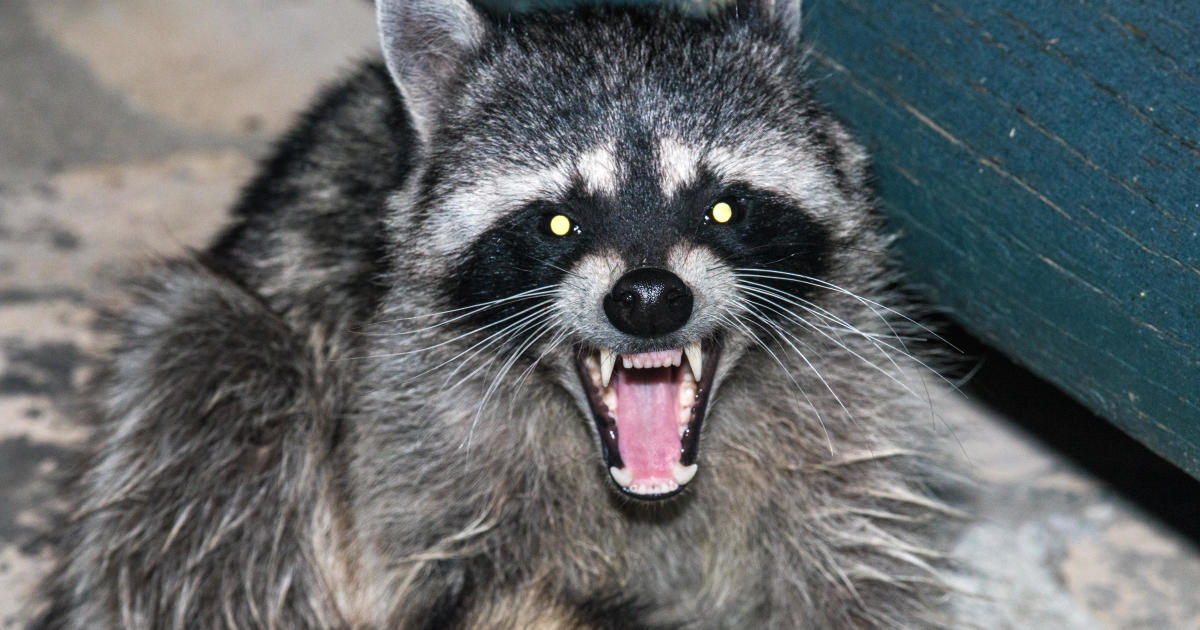 Officials: Raccoon involved in Wayne County attack was rabid