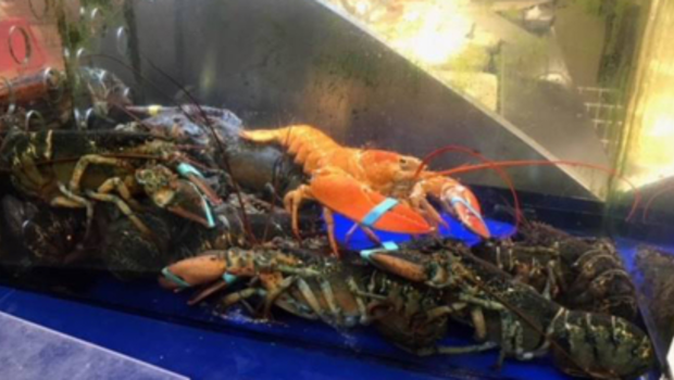 Grocery store workers find rare orange lobster