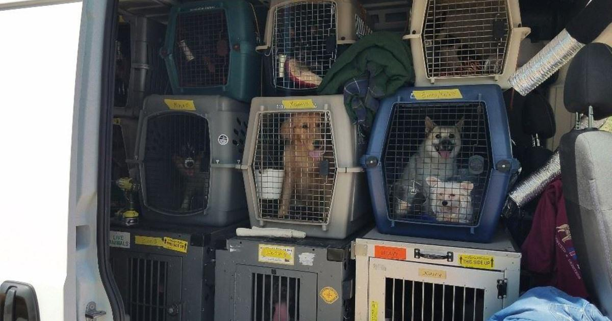82ac901558 14 show dogs found safe in California after being stolen in van - CBS News