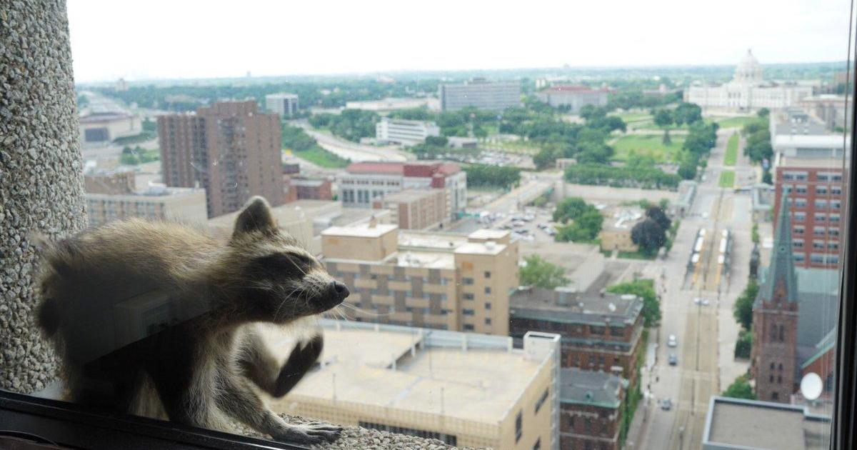 St. Paul raccoon lured into trap with cat food after scaling skyscraper