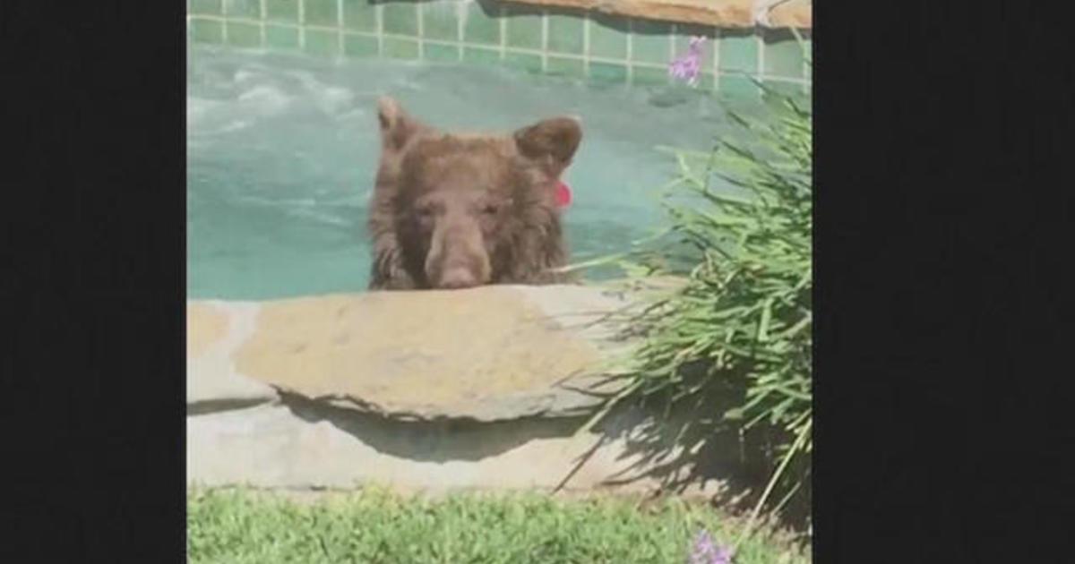 Bear relaxes in a California hot tub, drinks margarita - CBS News