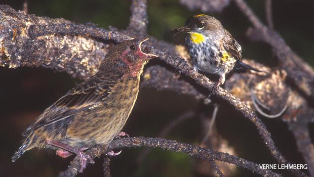 cowbird-fledgling-and-yellow-rumped-warbler-parent-verne-lehmberg-620.jpg