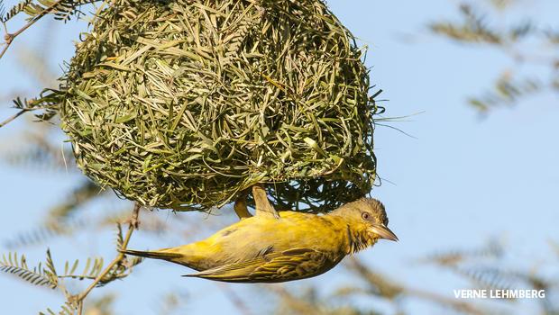 cape-weaver-hanging-from-its-nest-verne-lehmberg-620.jpg