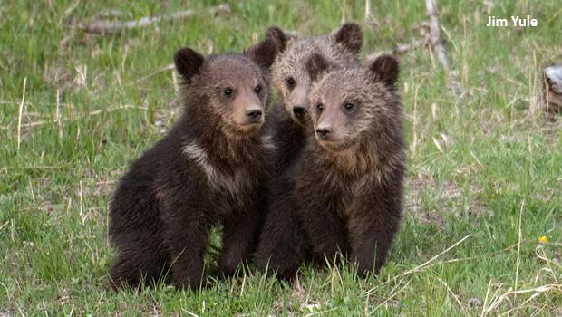 bear-cubs-2007-raspberry-in-the-middle-jim-yule-620.jpg