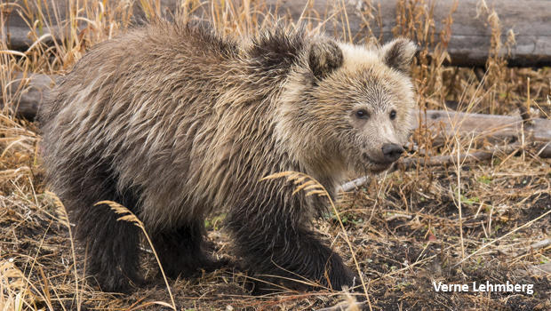 snow-grizzly-bear-620.jpg
