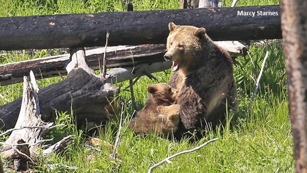grizzly-bears-raspberry-nursing-marcy-starnes-620.jpg