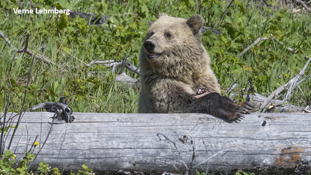 grizzly-bears-snow-behind-log-with-elk-leg-verne-lehmberg-620.jpg