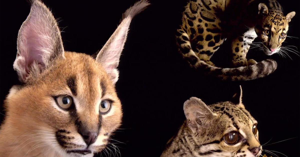 Joel Sartore on wild cats: Felines that lurk in the shadows