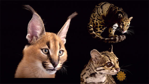 Wild Cats You May Never See