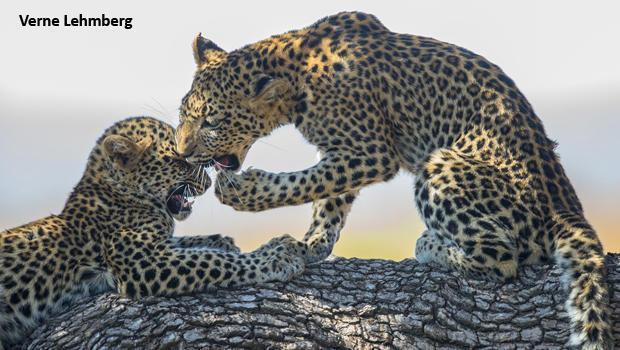 leopard-cubs-play-2-verne-lehmberg-620.jpg
