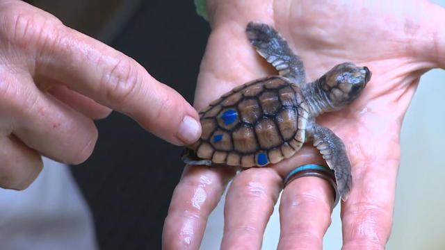 ctm-strassmann-sea-turtle-patrol-fl-rem67-frame-61721.jpg