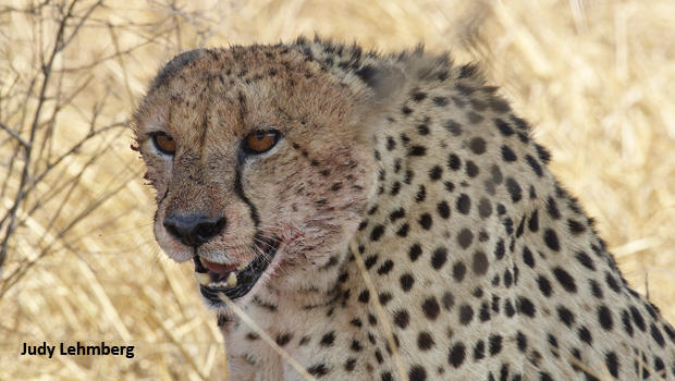 cheetah-with-blood-kruger-national-park-judy-lehmberg-620.jpg