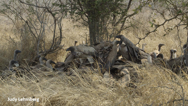 vulture-scrum-kruger-national-park-judy-lehmberg-620.jpg
