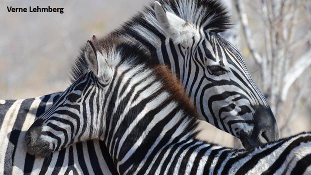 zebra-mom-and-colt-kruger-national-park-verne-lehmberg-620.jpg