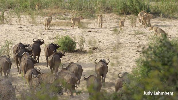 judy-lehmberg-sabie-river-lions-and-buffalo-winning-620.jpg