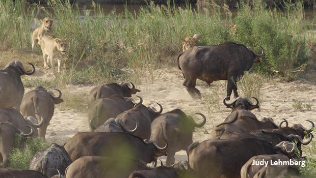 judy-lehmberg-sabie-river-lions-and-buffalo-really-surprised-620.jpg