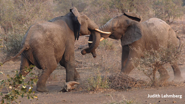 elephants-fighting-judy-lehmberg-620.jpg