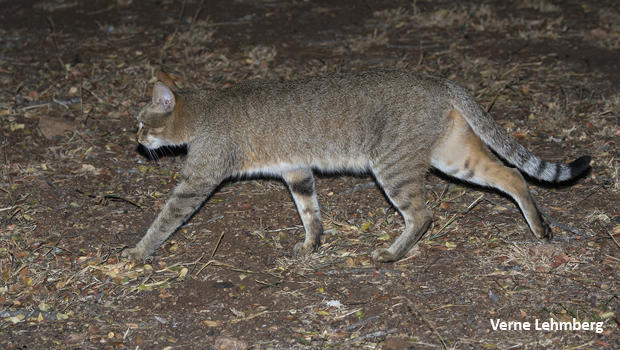 african-wildcat-walking-verne-lehmberg-620.jpg