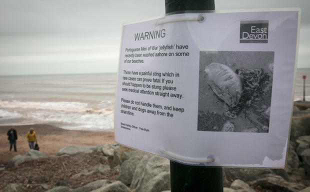 Storm Ophelia Washes Up Portuguese Man o' War Jellyfish On The Shore At Sidmouth