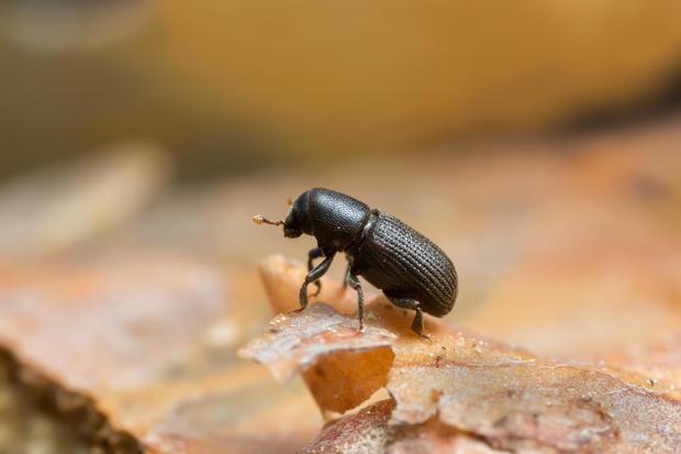 Hylastes bark beetle on wood