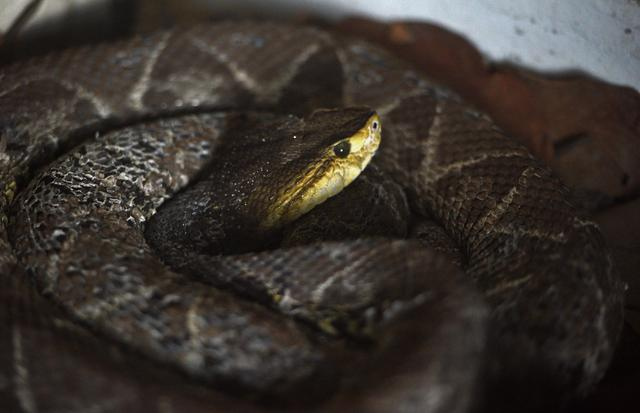 Malayan pit viper bite - The 20 deadliest animals on Earth