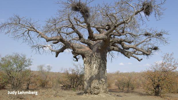 baobab-tree-judy-lehmberg-620.jpg