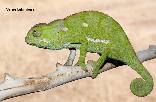 african-chameleon-verne-lehmberg-620.jpg