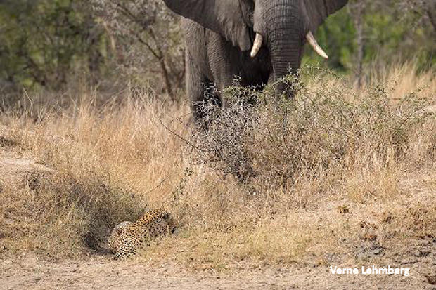 elephant-surprises-leopard-verne-lehmberg-620.jpg