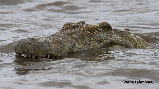 crocodile-head-sunset-lake-verne-lehmberg-dsc1877-620.jpg