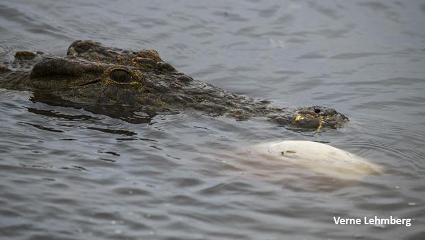 crocodile-impala-undewater-white-belly-showing-dsc2024-verne-lehmberg-620.jpg